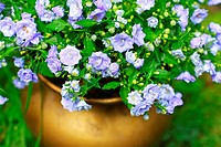 Blue garden flowers in golden vase