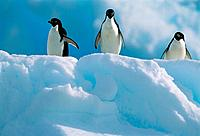 Three adelie penguins on ice floe