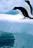 Two adelie penguins on ice floe