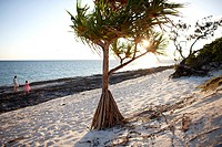Pandanus tree at Beachrock beach, Heron Island, eastern part is part of the Capricornia Cays National Park, Great Barrier Reef Marine Park, UNESCO Wor...