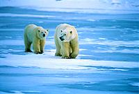 Canada, Manitoba, Churchill, Polar bear, mother with cub