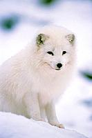 Polar fox sitting in the snow
