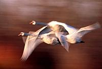 Two swans in flight, Winter