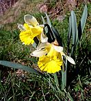 Trumpet Narcissus / Wild Daffodil