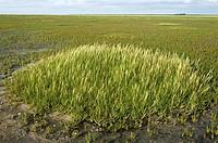Salt marsh with cordgrass, Spartina townsendii, and common glasswort, Salicornia europaea, Peninsula Eiderstedt, Schleswig-Holstein, Germany