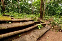 Bricks stairs in Camino de Cruces spanish colonial trans-isthmian path Soberania National Park, Gamboa, Colon province, Panama, Central America