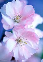 Two Ornamental Cherry Tree blossom