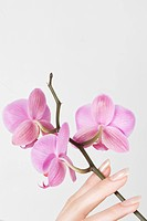 close_up of hand with pink orchid