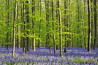 A blooming carpet of Bluebells in beech forest, bluebells Hyacinthoides non-scripta and European beech trees Fagus sylvatica, Hallerbos, Belgium, Euro...
