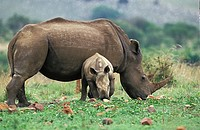White Rhinoceros, ceratotherium simum, Female with Calf, South Africa