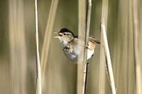 Marsh Wren Cistothorus palustris calling from the reeds at Marshlands Conservancy, Rye, New York, USA