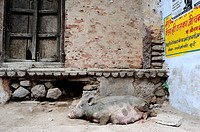 Street scene with a boar in Bundi, the medieval city  Rajasthan, India.