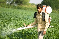 Farmer young boy spraying chemical on soybean crop in field , village Salunkwadi , Taluka Ambajogai , District Beed , Maharashtra , India MR688