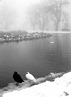 Black and White Ducks by Winter Pond