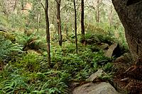 Ferns growing in Deep Pass Canyon in the Blue Mountains.