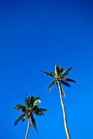 Tall coconut palm tree fronds rise into a clear blue tropical sky.