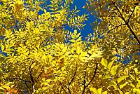 Yellow Autumn Foliage and Blue Sky
