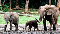 Family of forest Elephants.