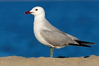Audouin´s gull Larus audouinii, standing in the sand, Spain, Balearen, Majorca