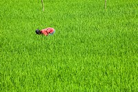 common rice Oryza sativa, farmer working in a rice field, Indonesia, Lombok
