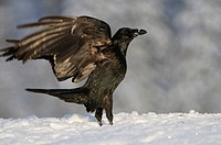 common raven Corvus corax, landing, Norway