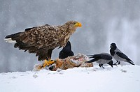 white_tailed sea eagle Haliaeetus albicilla, sitting at cadaver of a fox with hooded crows, Norway