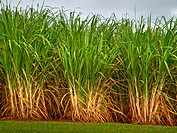 Sugarcane, planting of cane sugar, S&#227;o Paulo, Brazil