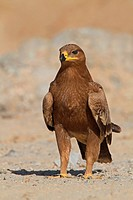 steppe eagle Aquila nipalensis, Aquila rapax nipalensis, sitting on the ground, Oman