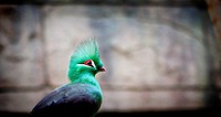 Portrait of a Turaco