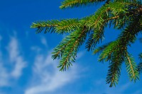 Fur_tree branch against the dark blue sky