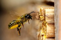 red mason bee Osmia rufa, Osmia bicornis, flying in front of its nest, Germany, Baden_Wuerttemberg