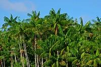 Açai, Plant, Belém, Pará, Brazil