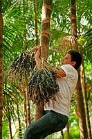 Man Climbing a Tree, Belém, Pará, Brazil