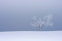 common birch, silver birch, European white birch, white birch Betula pendula, Betula alba, snow covered tree, Germany, North Rhine_Westphalia