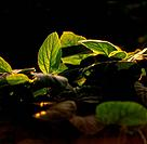 Soy Bean Plant, London, Ontario