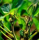 Soy Bean Plants, London, Ontario
