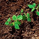 Dry Bean Seedlings, Thorndale, Ontario