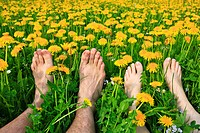 common dandelion Taraxacum officinale, nude feet of a couple lying together in a dandelion meadow