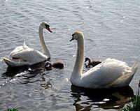 Family of swans in a pond