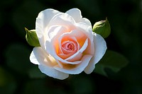 ornamental rose Rosa ´The Friar´, Rosa The Friar, cultivar The Friar