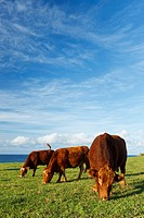 Hawaii, Maui, Ho´okipa, Cows grazing in pasture at sunset