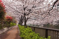 Path Lined with Cherry Blossom Trees