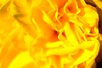 Yellow daffodil macro