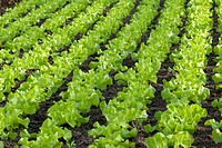 garden lettuce Lactuca sativa, lettuce growing, Germany
