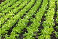 garden lettuce Lactuca sativa, lettuce growing, Germany