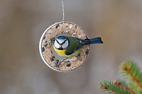 blue tit Parus caeruleus, sitting on a bird_feeding ring