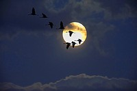 common crane Grus grus, group of cranes in front of the full moon, Germany, Lower Saxony, Geester Moor bei Wagenfeld