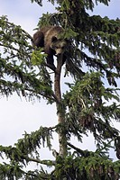 brown bear Ursus arctos, juvenile climbing in the branches of a tree