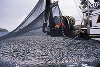 Commercial Fishing boat pulling up net full of herring, British Columbia, Canada.