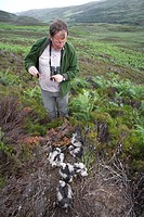 hen harrier Circus cyaneus, ornithologist at a nest full of chicks holding the leftovers of a grouse poult in hands, United Kingdom, Scotland, Sutherl...